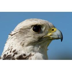 Pureza de Falco rusticolus